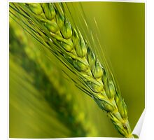 Study of Barley Crop Poster