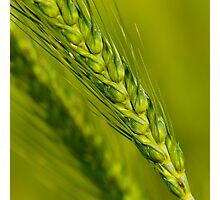 Study of Barley Crop Photographic Print