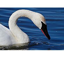 Testing The Water - Trumpeter Swan Photographic Print