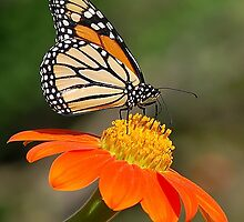 Monarch by Nick Conde-Dudding