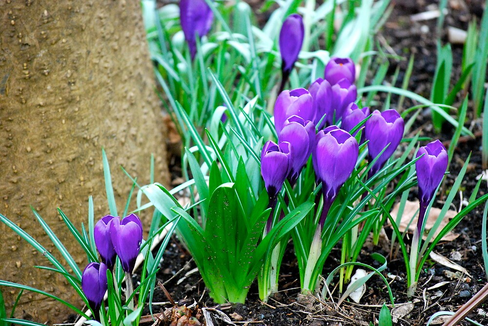 A Little Patch of Purple... by Carol Clifford