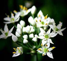 Bouquet of Chives- Boulder, Western Australia by Ashli Zis