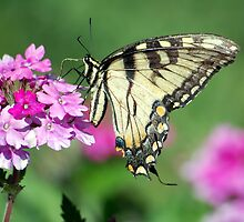 Tiger Swallowtail by Nick Conde-Dudding