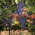 Cabernet ready for Harvest by Jen  Hutchison
