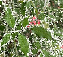 Frosty Holly in winter by Nick Jenkins
