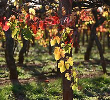 Autumn Vines Coonawarra by Jen  Hutchison