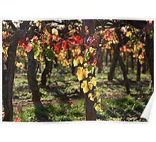 Autumn Vines Coonawarra Poster