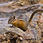 Chipmunk I - Yellowstone by starsofglass