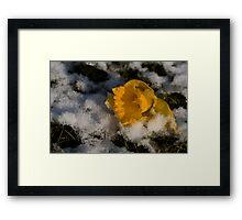 Daffodil in winter Framed Print