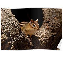 Chipmunk in tree hole - Ottawa, Ontario Poster