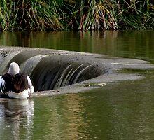 Pelican on Edwardes Lake Park by DianneLac