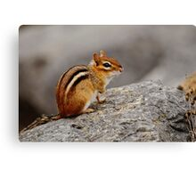 Eastern Chipmunk - Ottawa, Ontario Canvas Print