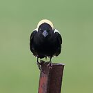 The name's Bobo...Bobolink by Jim Cumming