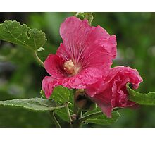 Hollyhock Unraveling Photographic Print