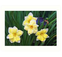 Double Daffodils Art Print