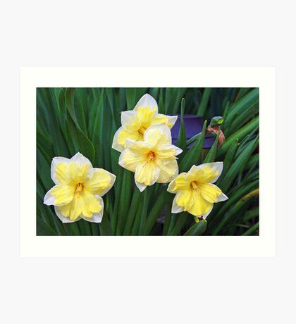Double Daffodils Art Print