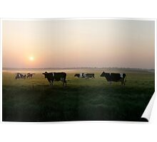 Cow sunrise in the country Poster