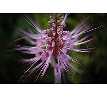 Pink fluff Photographic Print