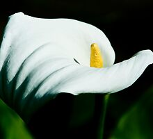 Arum lily, sculptured grace. by Liza Kirwan