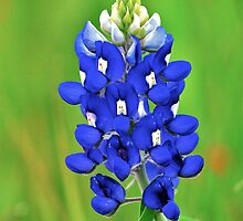 Texas Bluebonnet by Nick Conde-Dudding