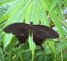 Female of the Great Mormon butterfly  by angeljootje