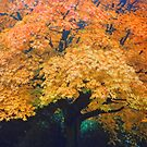 Autumn Tree by LAURANCE RICHARDSON