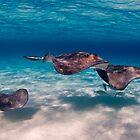 Flight of Rays, Sting Ray City, Grand Cayman, 2008 by jackmbernstein