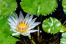 Water Lily by buttonpresser