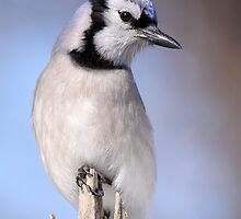 Bluejay On Blue by Gary Fairhead