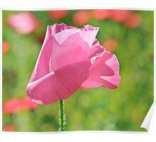 Poppy Rose Poster