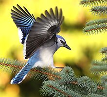Blue Spruce / Bluejay by Gary Fairhead