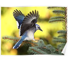 Blue Spruce / Bluejay Poster