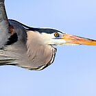 Great Blue Heron by DavidQuanrud