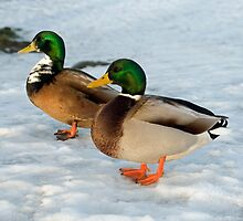 Two Mallard Ducks in the Snow by Nick Jenkins