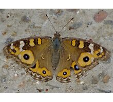 Meadow Argus Butterfly - Junonia villida Photographic Print