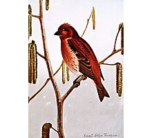 Purple Finch Illustration Photographic Print