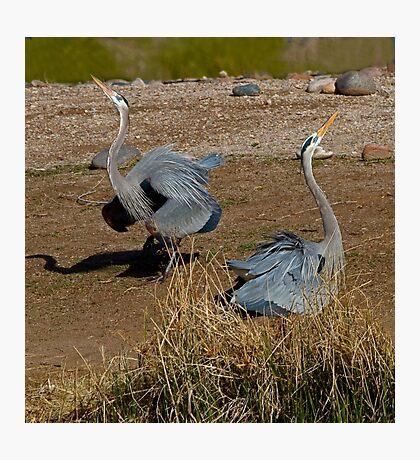 Mating Dance Photographic Print