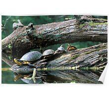 Basking Turtles Poster