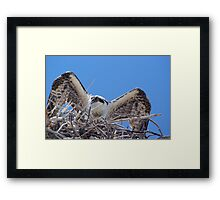 Young Osprey Tests His Wings Framed Print