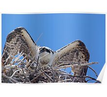 Young Osprey Tests His Wings Poster