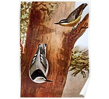 Red-breasted nuthatch and White-breasted nuthatch Poster