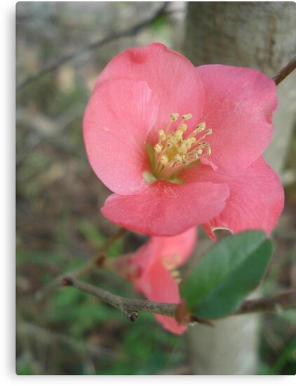 Flowering quince by May Lattanzio