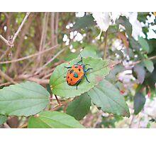 Orange Stink Beetle Photographic Print