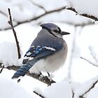 Snowfall on a Blue Jay by John Banks