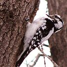 Woodpecker by shutterbug2010