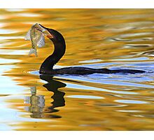 Double-crested Cormorant with fresh catch Photographic Print