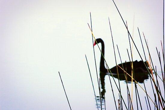 Black Swan & Reeds by LauraMcLean