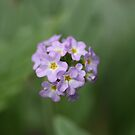 Mauve Flower by Keith G. Hawley