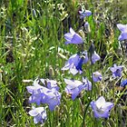 """Harebells"" -Prairie Wildflower Series by Max Buchheit"
