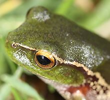 to move or not to move -  Snowy Mountain Tree Frog  - Cape Conran Vic by john  Lenagan